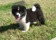 Good Looking Akita Puppies For Sale