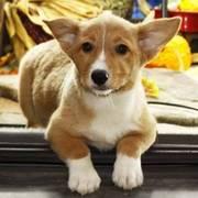 Cardigan Welsh Corgi puppies for sale