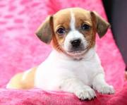 Toy Rat Terrier puppies for sale in perfect home