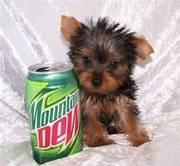 Teacup Yorkshire Terrier puppy for sale