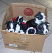 Boston Terrier Puppies for good homes