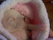 7 cute chunky staff pups